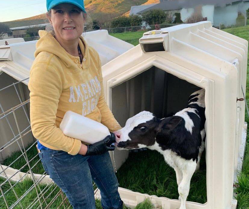Sylvia feeding calves